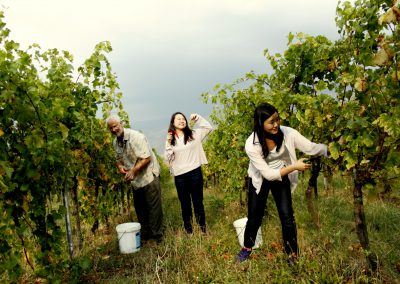 Hand Harvesting of Wine Grapes